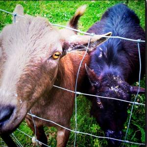 goats housesitting