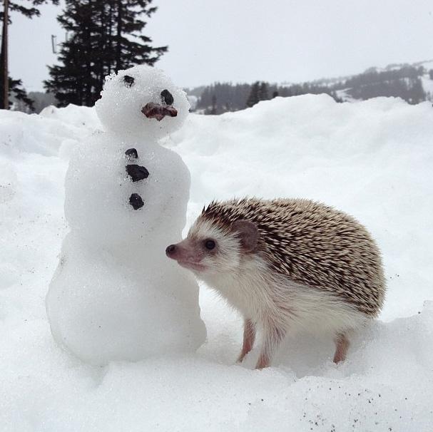 BiddyTheHedgeHog_Snow
